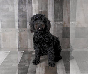 Mother of the Poodle (Miniature)-Portuguese Water Dog Mix puppies born on 11/10/2020