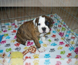 American Bulldog-Olde Bulldog Mix Puppy for sale in ORO VALLEY, AZ, USA