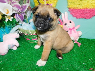 Pug Puppy For Sale in HAMMOND, IN, USA