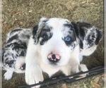Puppy 1 Australian Shepherd