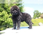 Small #49 Goldendoodle