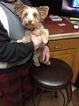 Yorkshire Terrier Puppy For Sale in GRESHAM, OR, USA