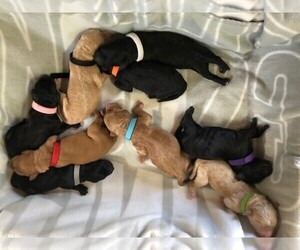 Goldendoodle Puppy for sale in WHITTIER, CA, USA