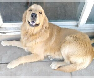 Father of the Golden Retriever puppies born on 01/31/2021