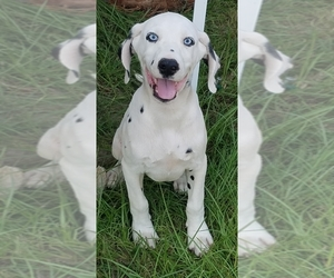 Dalmatian Puppy for sale in LUDOWICI, GA, USA