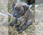 STAR WARS Bullmastiff Puppy