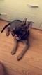 German Shepherd Dog Puppy For Sale in DES PLAINES, IL