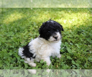 Poodle (Toy) Puppy for Sale in SHILOH, Ohio USA