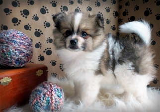 pomeranian for sale in sc view ad pomeranian puppy for sale near south carolina 6495