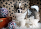 Pomeranian Puppy For Sale in MYRTLE BEACH, SC,