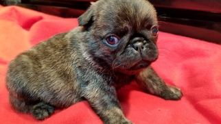 Pug Puppy For Sale in SALEM, OR, USA