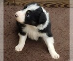 Puppy 9 Border Collie