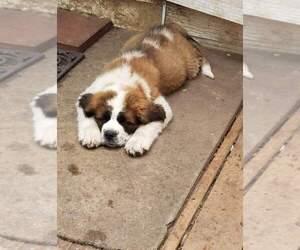 Saint Bernard Dog for Adoption in BATES CITY, Missouri USA