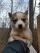 Siberian Husky Puppy For Sale in ARARAT, VA, USA
