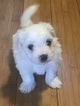 Coton de Tulear Puppy For Sale in KAYSVILLE, UT, USA