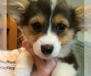 Pembroke Welsh Corgi Dog for Adoption in WINSTON SALEM, North Carolina USA