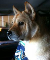 Chinese Shar-Pei-Shiba Inu Mix Dog For Adoption in EVERETT, WA, USA