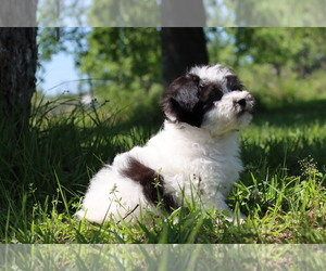 Havachon Puppy for Sale in HOUSTON, Texas USA