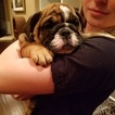 Bulldog Puppy For Sale in CORONA, CA