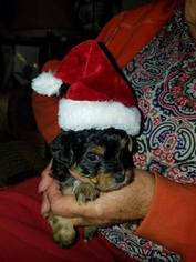 Yorkie-Poo Puppy For Sale in PATOKA, IL