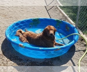 Golden Retriever Puppy for Sale in SHELBYVILLE, Indiana USA