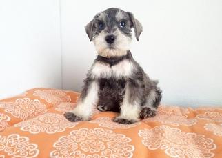 Schnauzer (Miniature) Puppy for sale in SAN FRANCISCO, CA, USA