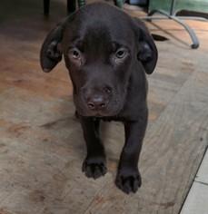 Labrador Retriever Puppy For Sale in HUDSON, NH, USA
