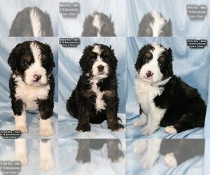 View Ad Bernedoodle Puppy For Sale Near Kentucky
