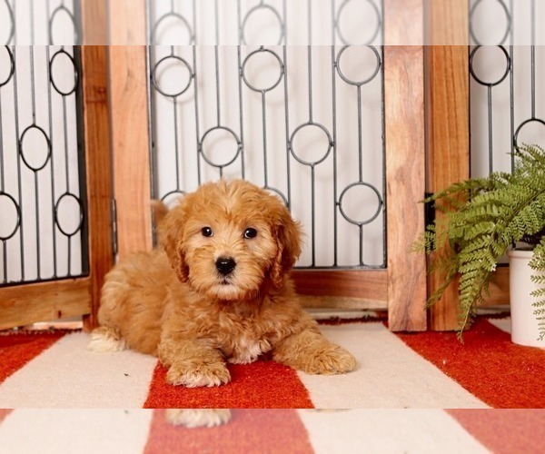 Medium Photo #1 Goldendoodle Puppy For Sale in NAPLES, FL, USA