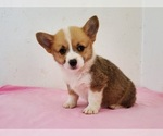 Small #4 Pembroke Welsh Corgi
