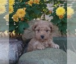 Puppy 3 Poodle (Toy)