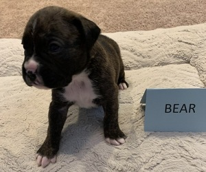 Boxer Puppy for sale in WEST POINT, UT, USA