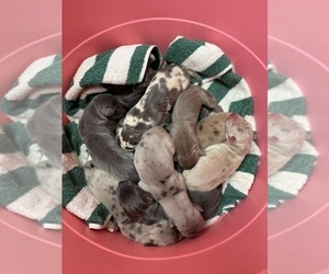 Great Dane Puppy for sale in RAEFORD, NC, USA