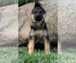 Puppy 5 German Shepherd Dog