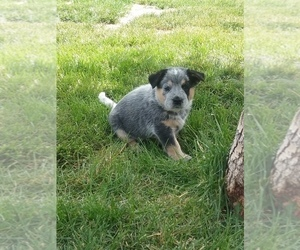 Australian Cattle Dog Puppy for Sale in CORA, Wyoming USA