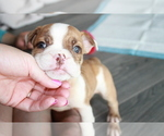 Puppy 4 English Bulldog