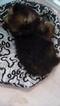 Pomeranian Puppy For Sale in FRESNO, CA, USA