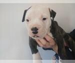 Puppy 8 American Bulldog