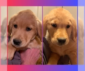 Golden Retriever Puppy for sale in YUCAIPA, CA, USA