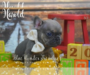 French Bulldog Puppy for Sale in LOXAHATCHEE, Florida USA