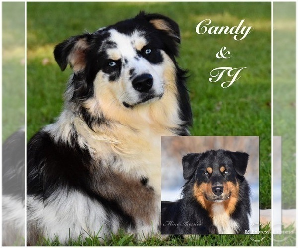 Medium Photo #1 Australian Shepherd Puppy For Sale in EASTON, MO, USA