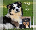 Small Photo #1 Australian Shepherd Puppy For Sale in EASTON, MO, USA