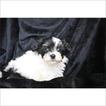 Havanese Puppy For Sale in TUCSON, AZ, USA