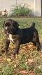 Mastiff Puppy For Sale in DAVENPORT, FL