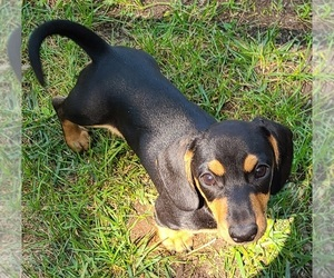 Dachshund Puppy for Sale in LAKE PANAMOKA, New York USA