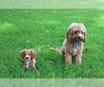 Small #12 Cavapoo