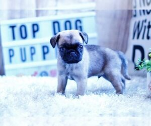 Pug Puppy for Sale in FULLERTON, California USA