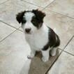 Small #8 Border Collie