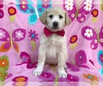 Border Collie-Golden Retriever Mix Puppy For Sale in QUARRYVILLE, PA, USA