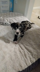Great Dane Puppy For Sale in CONLEY, GA